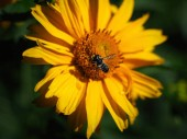 Fotografie close up of honey bee collecting pollen on yellow flower