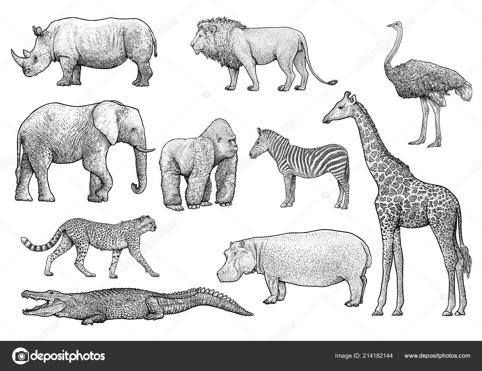 Africka Zvirata Ilustrace Kresba Gravirovani Inkoust Perokresby