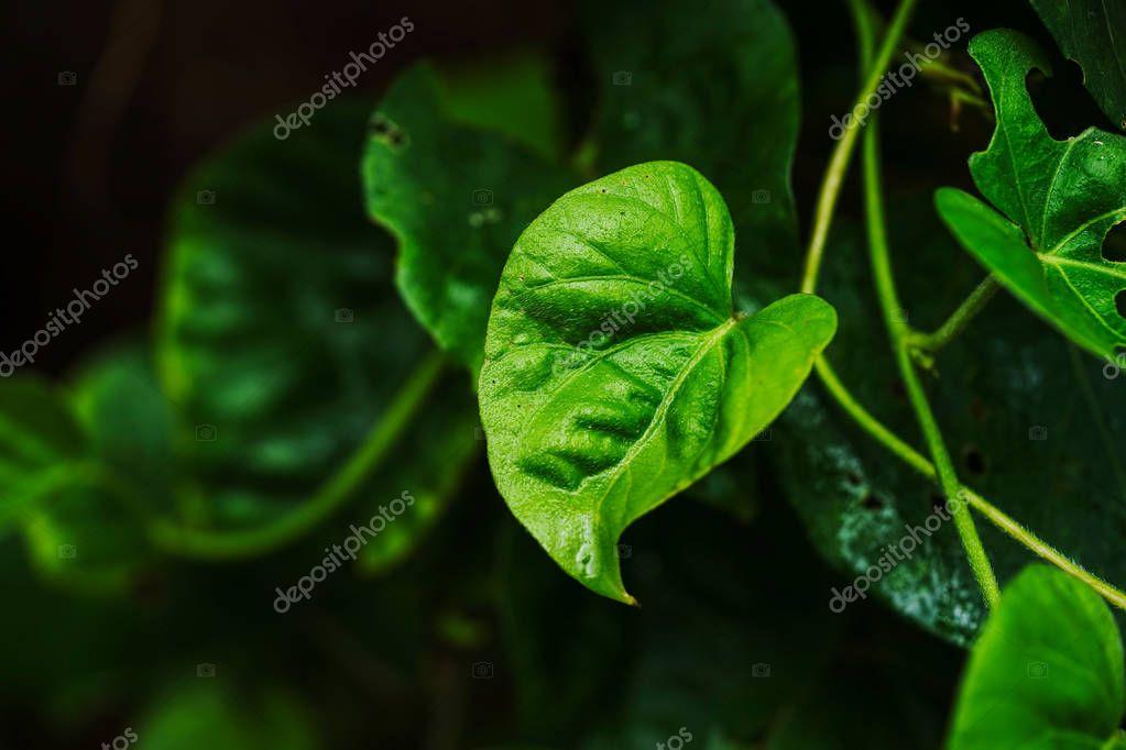 piper kadsura in iriomtoe island