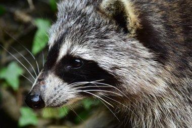 Raccoon - Waschbaer - Raton Laveur