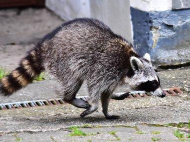 Raccoon - Raton Laveur - Waschbaer