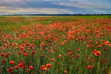 Wonderful poppy field, summer landscape at sunrise