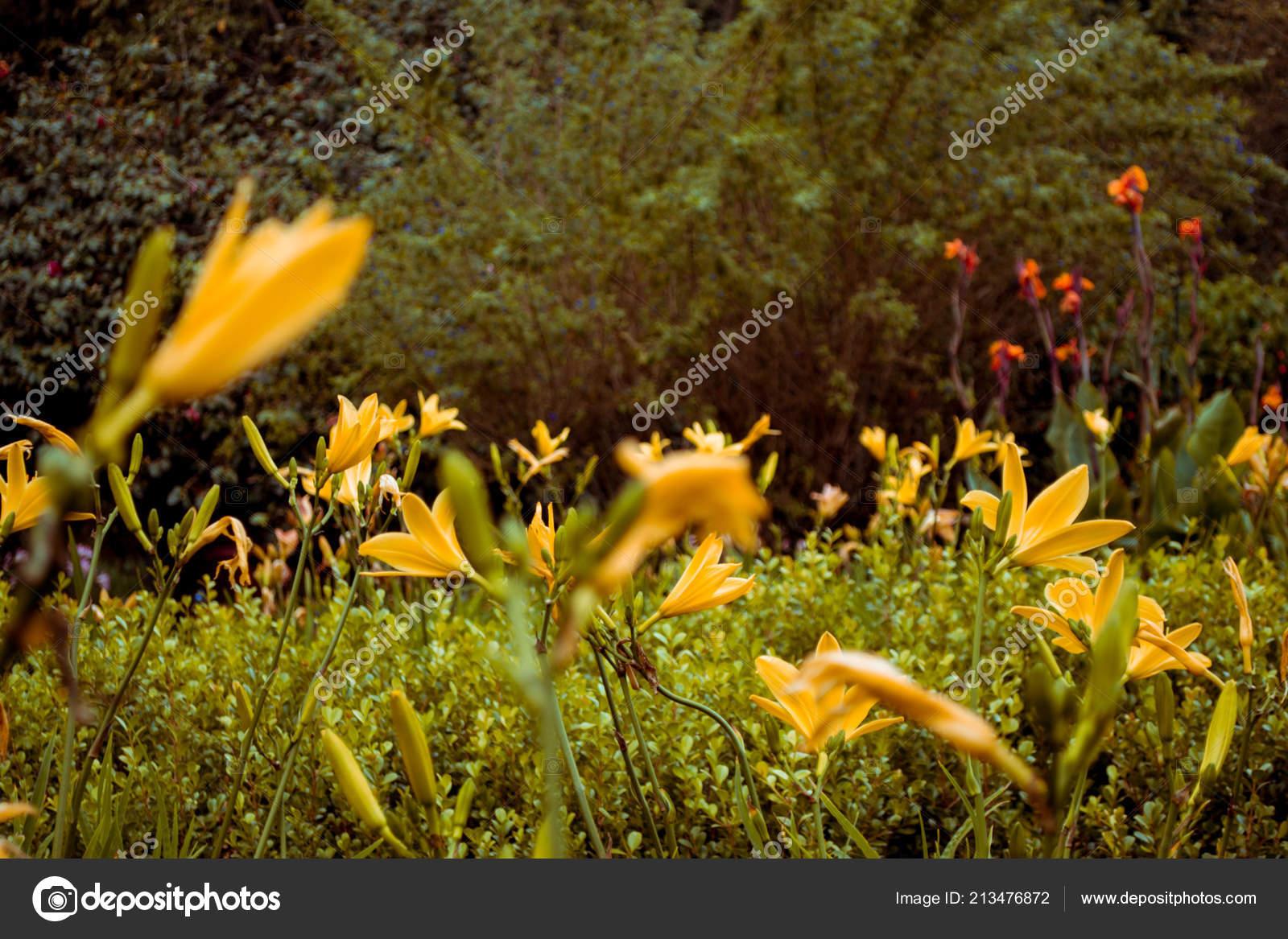Hermoso Campo Flores Amarillas Primer Plano Fondo Pueden Ver