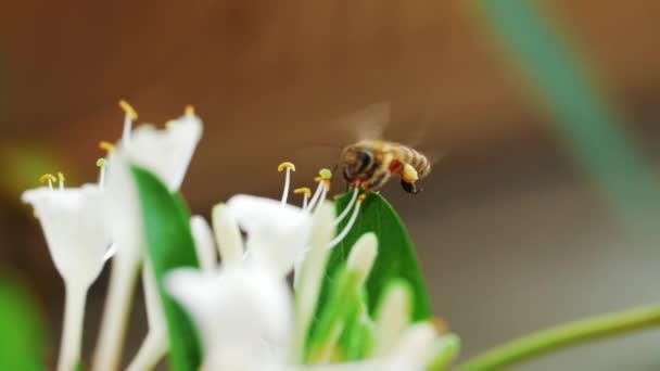 Zeitlupe der Honigbiene auf der Blüte