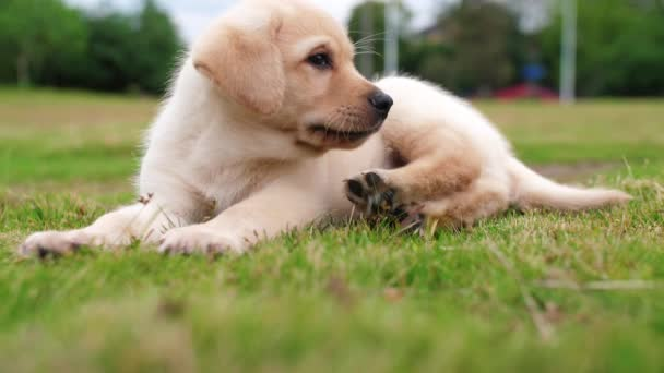 Close up of one Labrador puppy rest outdoor, 4k