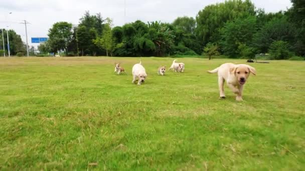 Group of cute puppy Welsh Corgi and Labrador dog running on the grass outdoor in the Park , one Corgi puppy catch up the Labrador,  lovely little dogs outdoor,   4k slow motion,