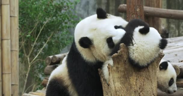 Rozkošný obří panda hrušková rodina hrát spolu