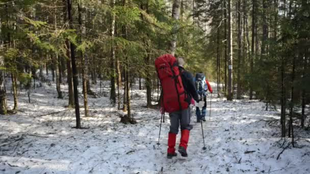 hikers with poles and backpacks descending on slope in spring forest, hike concept