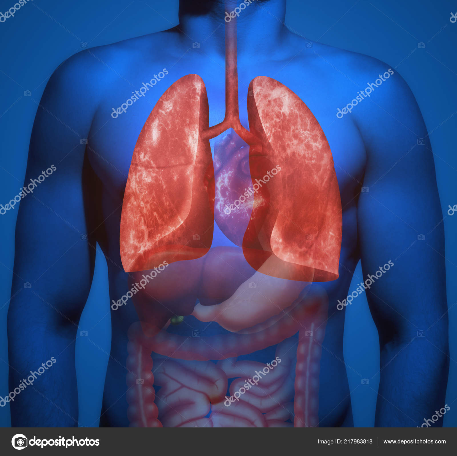 Structure Human Body Human Organs Emphasis Lungs Stock Photo