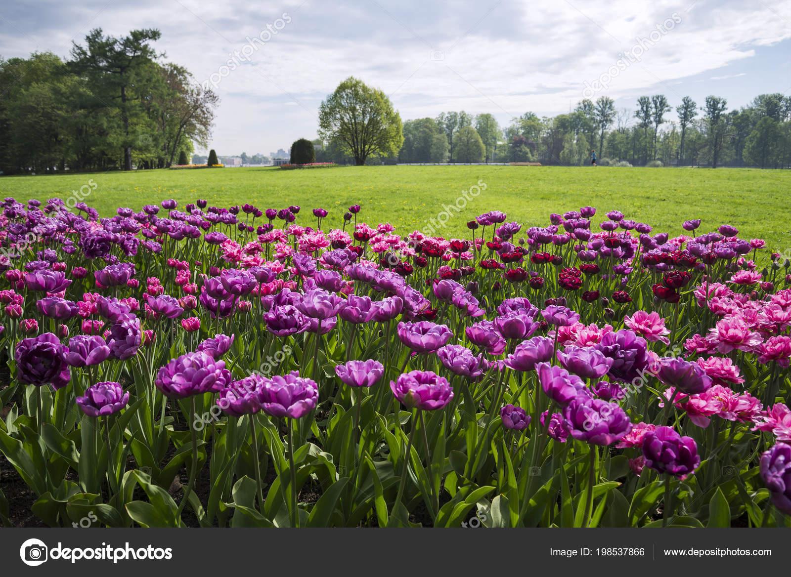 Vue Panoramique Plate Bande Fleurie Avec Tulipes Jardin Printanier U2014 Photo
