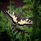 Makrofoto des gelben Schmetterling