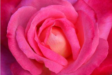 """Картина, постер, плакат, фотообои """"Крупным планом красивые розовые розы очень малой глубиной резкости"""", артикул 246781952"""