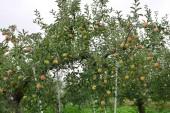 Fotografie Apfel (Malus Domestica), auf den Baum, in japan