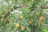 Apfel (Malus Domestica), auf den Baum, in japan