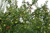 Apfel (malus domestica), am Baum, in Japan