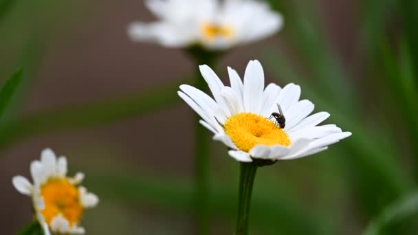 A Daisy with white petals, Macro. A small insect feed the nectar from the Daisy