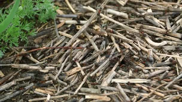 The ants dragged dry twigs and build a anthill. Busy of people concept