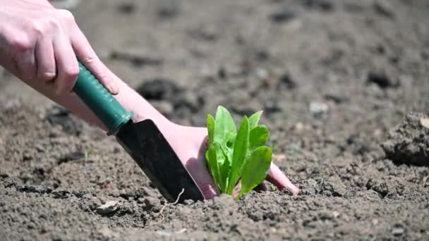 Young woman with a garden shovel plants a green plant. Close-up of Farmers hands