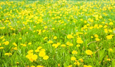 Meadow with dandelions on a sunny day. Flowers in spring