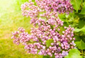 Fotografie Amazing natural view of bright lilac flowers in garden at sunny spring day with green leaves as a background.