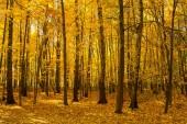 Krásné stromy v podzimním lese. Příroda