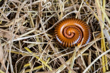 Natural beauty of millipede on dry grass