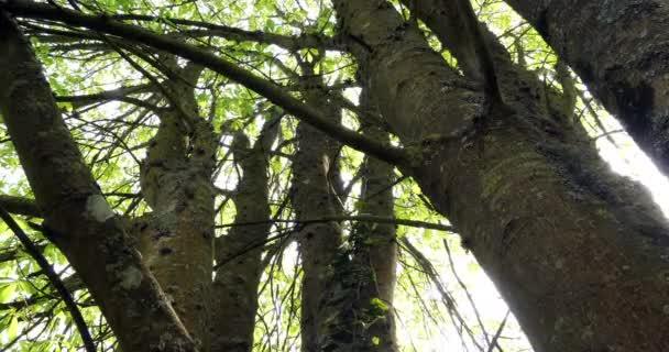 Kmen kaštanového stromu, aesculus hippocastanum, Normandie ve Francii, zpomalení 4k