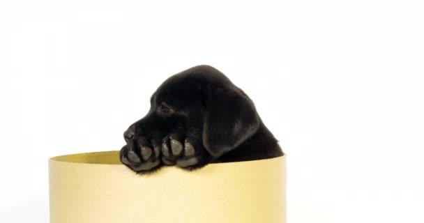 Černý labrador retrívr, Štěně stojící v krabici na bílém pozadí, Normandie, Pomalý pohyb 4k