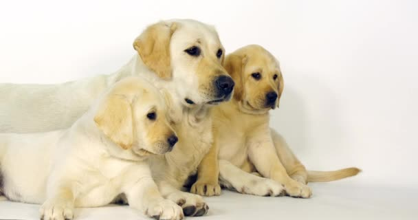 gelber Labrador Retriever, Hündin und Welpen auf weißem Hintergrund, Normandie, Zeitlupe 4k