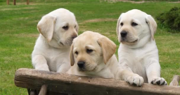 Labrador Retriever, Yellow Puppies in a Wheelbarrow, Normandy in France, Slow Motion 4K