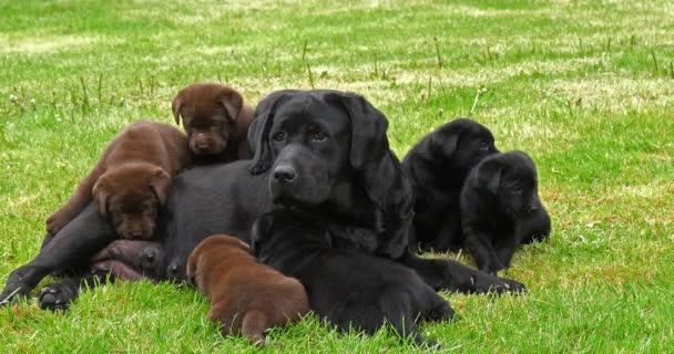 schwarze Labrador Retriever Hündin und schwarz-braune Welpen auf dem Rasen, Normandie, 4k Zeitlupe