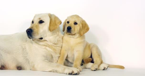 Sárga Labrador retriever, Ribanc és Kölyök fehér háttér, Normandia, Lassú Motion 4k