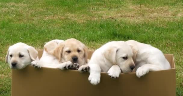 Yellow Labrador Retriever, Puppies Playing in a Cardboard Box, Normandy in France, Slow Motion 4K