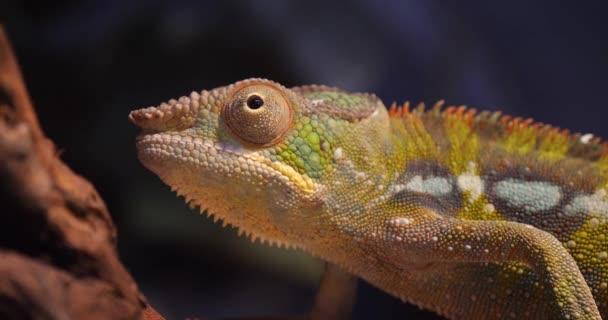 Dospělý Panther Chameleon stojící na Pobřeží Madagaskaru