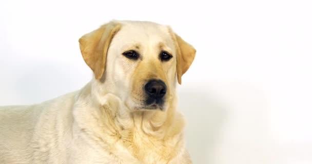 Yellow Labrador Retriever, portrait of Bitch on White Background, Normandy, Slow Motion 4K