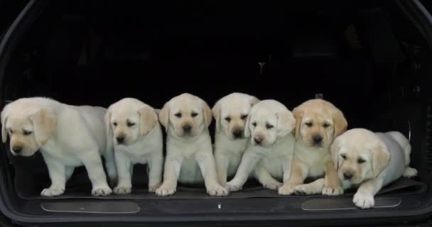 Yellow Labrador Retriever, Puppies in the Trunk of a Car, Normandy in France, Slow Motion 4K