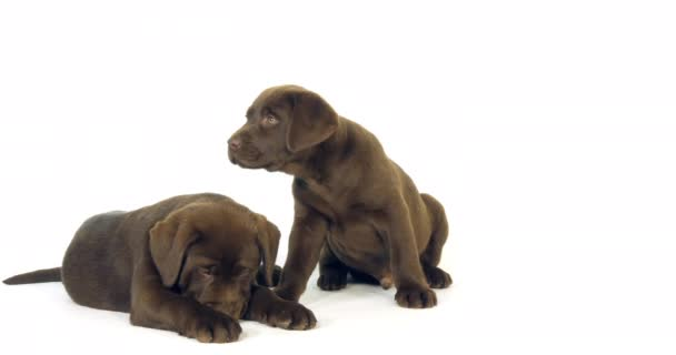 Brown Labrador Retriever, Puppies on White Background, Normandy, Slow Motion 4K