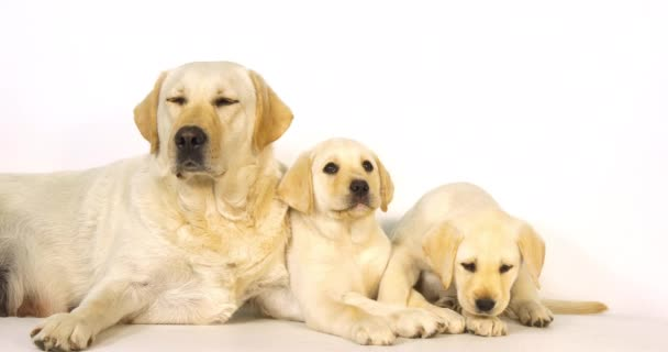 Yellow Labrador Retriever, Bitch and Puppies on White Background, Normandy, Slow Motion 4K