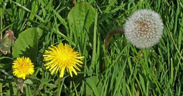 Rét pitypang virágokkal, taraxacum officinale, Normandia Franciaországban, Lassú mozgás 4k