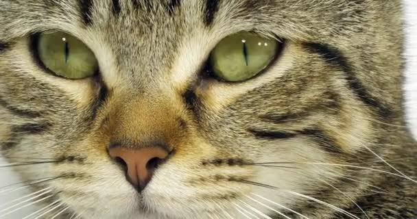 Brown Tabby Domestic Cat, Portrait of A Pussy On White Background, Close-up of Eyes and Mustache, Slow Motion 4K