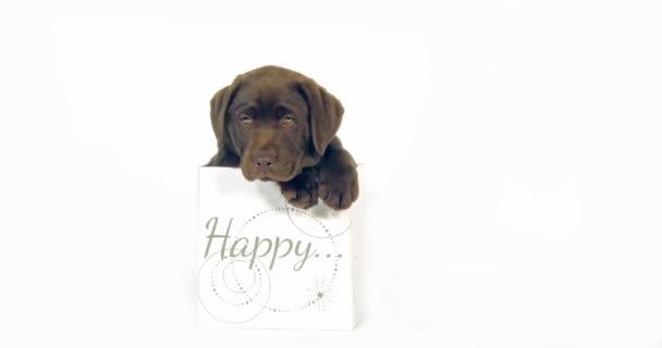Brown Labrador retrívr, Štěně stojící v krabici na bílém pozadí, Normandie, Pomalý pohyb 4k