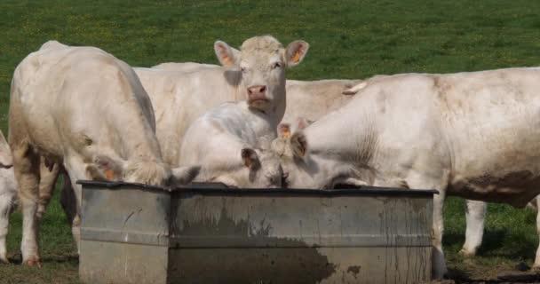 Charolais Cattle, francouzské plemeno, stádo u koryta, Normandie ve Francii, zpomalení 4k