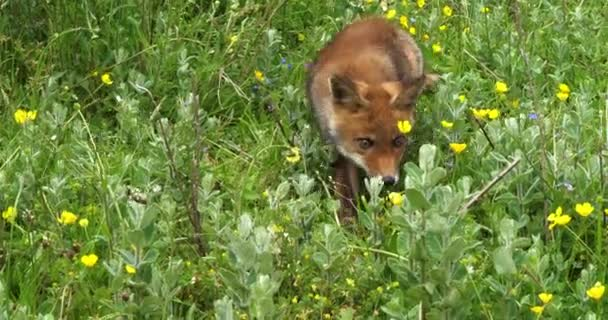 Red Fox, vulpes vulpes, Pup Walking in Meadow with Yellow Flowers, Normandie in France, Slow motion 4k
