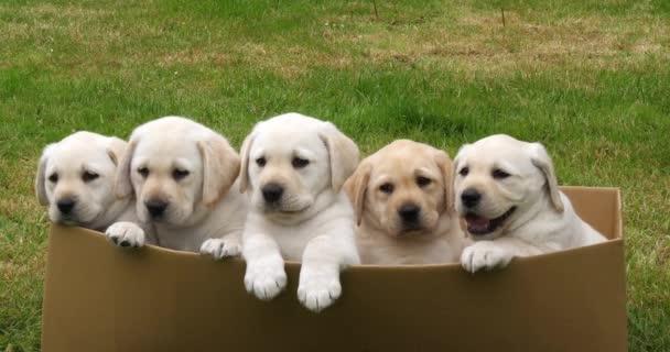 gelber Labrador Retriever, Welpen spielen im Karton, Normandie in Frankreich, Zeitlupe 4k