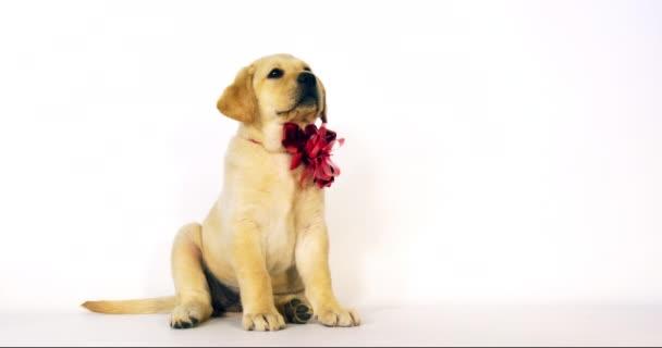 Žlutý labrador retrívr, štěně nabízené jako dárek na bílém pozadí, Normandie, Slow Motion 4k