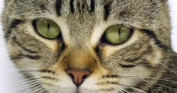 Hnědá Tabby domácí kočka, portrét kundičky na bílém pozadí, zblízka očí a kníru, pomalý pohyb 4k