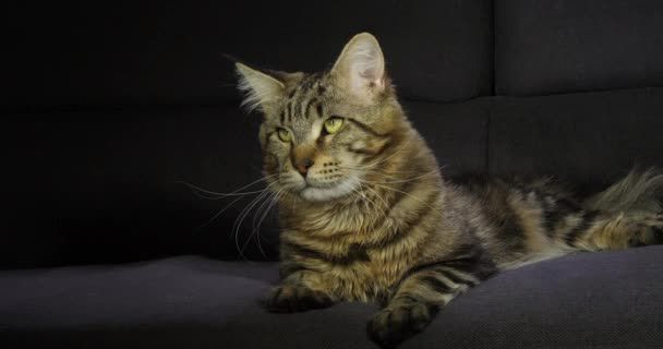 Brown Blotched Tabby Maine Coon Domestic Cat, Male laying against Black Background, Normandy in France, Slow motion 4K