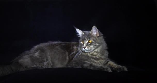 Blue Blotched Tabby Maine Mýval domácí kočka, Žena ležící na černém pozadí