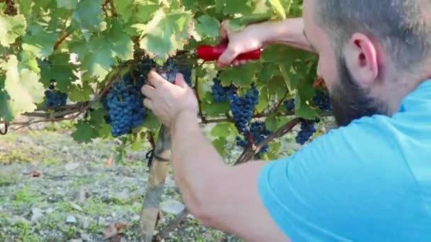 Farmář kultivuje červené hroznové víno ze stromu na vinici