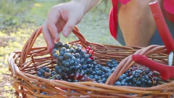 Vinedresser mezőgazdasági termelő a szőlő helyezi a fonott kosár érett szőlő